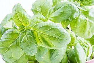 150 Sweet Basil Seeds - Large Leaf Italian Basil - Largest Leaves of All Basil Varieties - by RDR Seeds