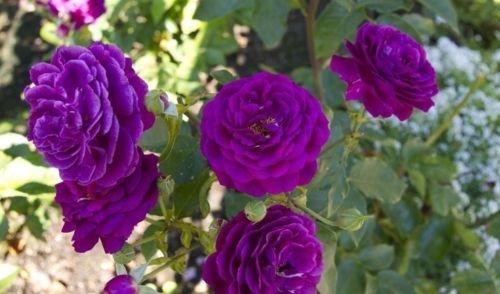 Violet * rosier grimpant Graines * belles fleurs odorants