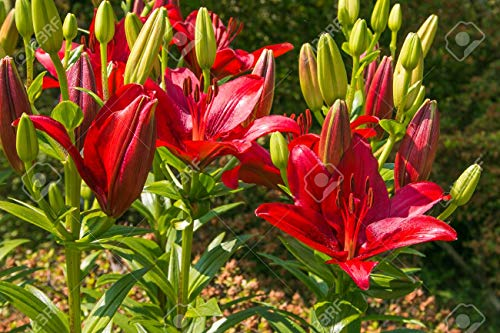 LIVE GREEN Asiatic Lily Imported and Hybrid Flower Bulbs (Red) - Pack of 2 Bulbs