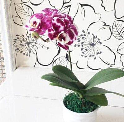 Fleur exotique Orchidée Graines Cattleya Multicolor Papillon Orchidee Bonsai Monoflord Mini jardin plante facile à cultiver 200 pcs/sac 7