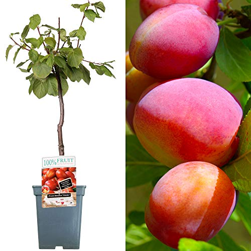 Patio Fruit Tree Collection | Various Premium Grade Fruits | Ideal for Small Gardens & Borders | Apple, Cherry, Plum, Nectarine, Peach & Pear Trees | 2-3ft ('Victoria' Plum Tree)