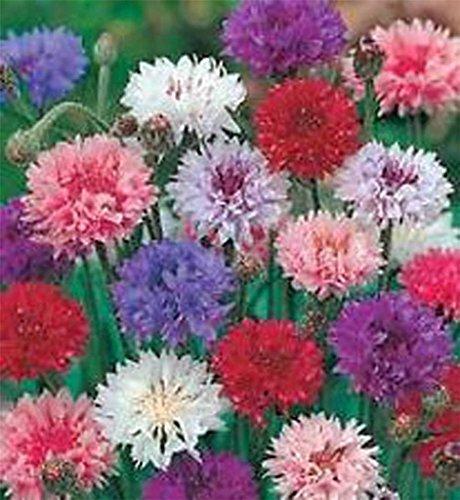 Bouton Bachelor, Graines en Mélange de grande hauteur, bio, 50 graines, belles fleurs lumineuses,