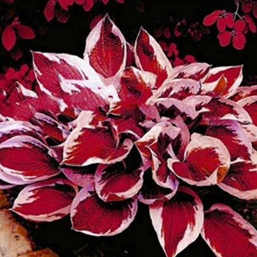 Gartensamen SummerRio- Raritäten100 stücke gemischt Feather Hosta Pflanzen Garten hosta knolle hosta funkien winterhart Samen für Vorgarten/Steingarten