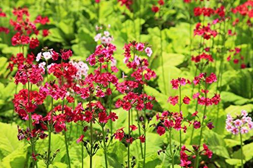 Primel, Etagenprimel 50 Samen (Primula japonica)