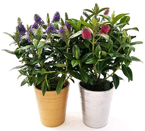 Veronica Blume, Fuchsia und Blau, 2 Pflanzen, aus Keramik, goldfarben und silberfarben, Vase, 12 cm, echte Pflanzen