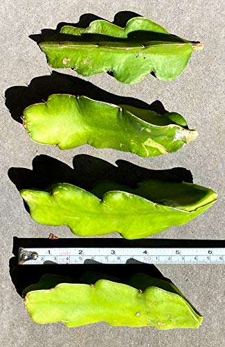 The Waterspout 4 Fresh Red Dragon Fruit Live Vine Cuttings (Each 4 inches Long...