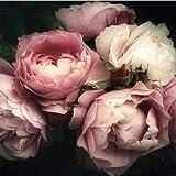 [page_title]-ForWall Fototapete Vlies - Wanddekoration Wandtapete - Blumen Pfingstrose Rosa Rose Schlafzimmer VEXXL (312cm. x 219cm.) AMF13298VEXXL Wandtapete Design Tapete