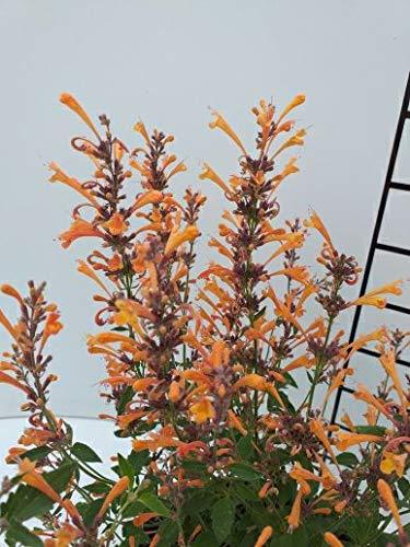 Späth Staude im Topf Duftnessel 'Kudos Mandarin' orange blühend, Blütenstauden mehrjährig 1 Pflanze