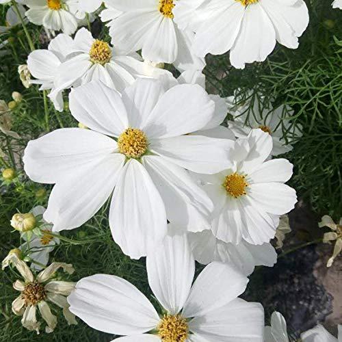 Fnho Balcón Primavera Flores,Perennes Plantas Semillas,Flor del jardín del balcón, Flor del Cosmos-Blanco_1KG