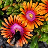 Genuine Plant World Seeds branded packets supplied direct from Plant World Seeds UK Common Name: Hardy ice plant, Lampranthus Height: 4-8cm Packet content (approximately): 10 This exquisite and extremely colourful plant forms a low growing carpet of ...