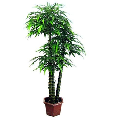 D'énormes 80 graines/paquet pubescens géant Phyllostachys Moso graines de bambou rustiques -Giant 8