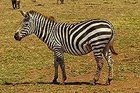 大人のためのAPAN1000ピースパズル-黒と白の縞模様のゼブラ-最高のパズル