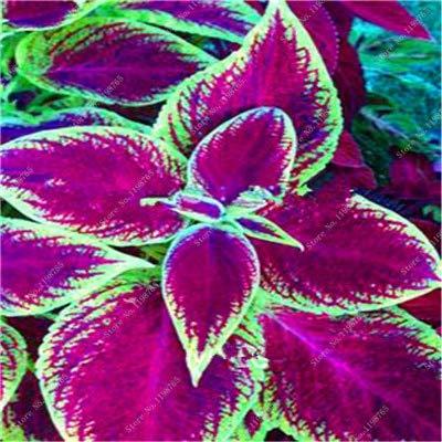 GETSO Vente Hot 100 Pcs Bonsai Arc-en-Coleus Fleur Plantes Beau Feuillage Couleur Parfaite Dragon Balcon Begonia Bonsai Facile à cultiver: 9