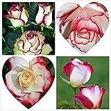 白:30ローズ種子花火*アイスローズ美しいdiyホームガーデン用品ミニフラワーポットバルコニーヤード盆栽種子