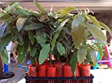 Hass Avocado Tree, Grafted - Live Avocado Tree