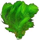 *Aquariumpflanzen Ceratophyllum demersum, Hornkraut, Wasserpflanzen