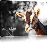 süße Ziege schwarz/weiß Format: 60x40 auf Leinwand, XXL