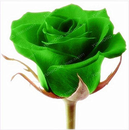 50 Pcs/Sac rares Graines Rose 24 couleurs au choix Belles graines de fleurs vivaces Balcon Jardin en pot Plante bricolage jardin 6