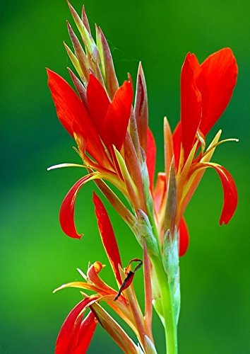 Portal Cool 25 Rote Canna Indica Liliensamen Indian Shot Canna Flower Brilliant Viable Rare