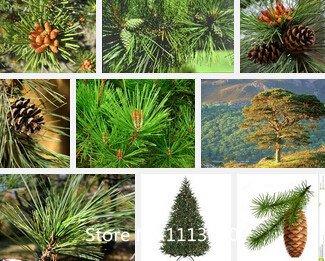 Promotion Pine graines d'arbres Graines, bonsaï Pinus thunbergii Seeds, vous apprendre à grandir, à 50 particules / sac Novel Seed