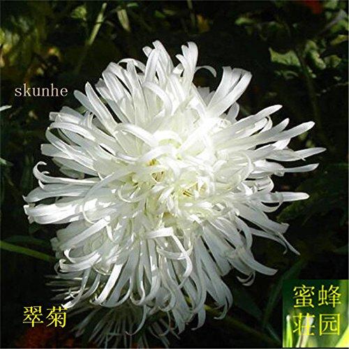 Aster graines de graines de fleurs de vanille Variété de la cire turquoise Jiangxi graines chrysanthème environ 100 graines 3