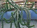 Orbea/Stapelia variegata (Star Flower) - 3 Leaf c