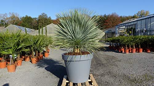 genau diese: Yucca Rostrata 60 cm Stammumfang winterhart im hochwertigen XXL Pflanzkübel