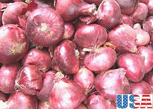 USA SELLER Brunswick graines d'oignon 100-800 HEIRLOOM NON OGM