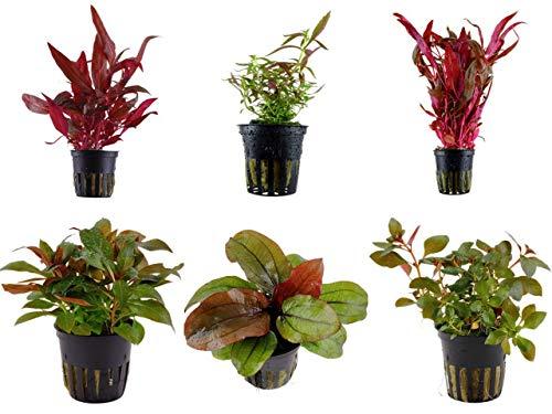 Tropica Pflanzen Set 6 schöne rote Topf Pflanzen Aquariumpflanzenset Nr.10 Wasserpflanzen Aquarium Aquariumpflanzen