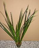Mühlan Wasserpflanzen 1 Topf Acorus gramineus, großer grüner Kalmus