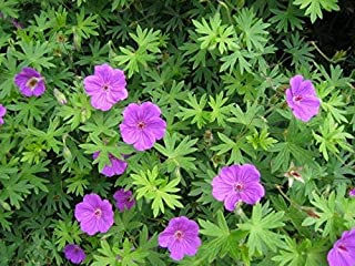 Best geranium tiny monster seeds Reviews