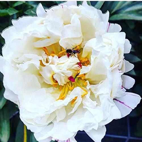 Müllers Grüner Garten Shop Edel-Pfingstrose Paeonia lactiflora Angelika Kauffmann einfache weiße Blüte Staude im 5 Liter Topf