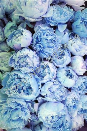 chinese peony,peony root seeds, 10 pcs peony seeds Blue