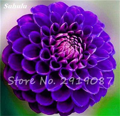 50 Pcs rares Graines Bonsai Dahlia (non Dahlia Bulbes) Mixte magnifique Fleurs chinois Balcon Plante en pot Maison et jardin 16