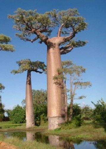 TROPICA - Malagasy Baobab (Adansonia grandidieri) - 4 Samen