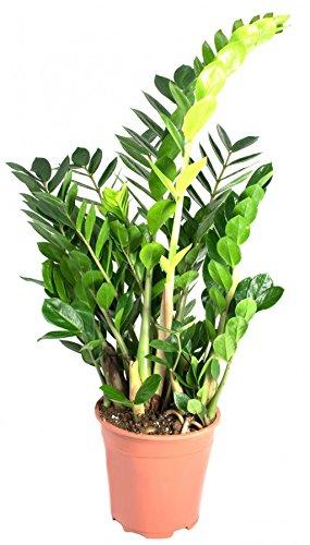 Zamioculcas zamiifolia, im 17er Topf, Glücksfeder, ca. 50 cm hoch