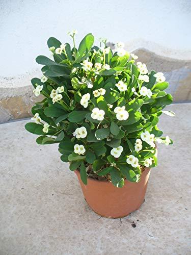 Christusdorn (Euphorbia millii) weiss, 35-45 cm, ein Pflanze im Topf