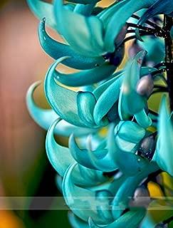(MacrobotrysAmbizu Rare Endangered Jade Vine 'Strongylodon Macrobotrys' Flower Seeds, Professional Pack, 10 Seeds
