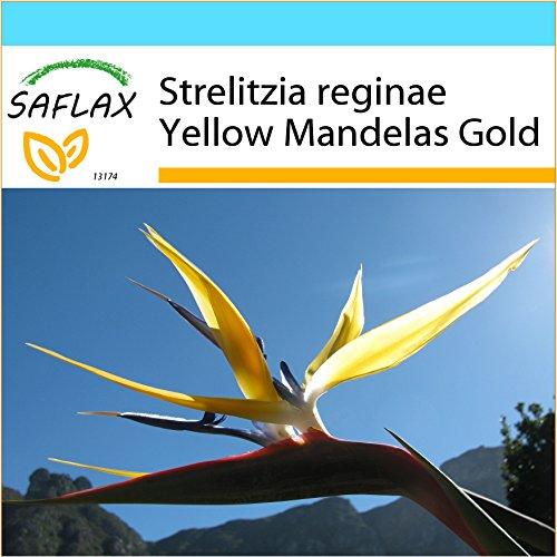 SAFLAX - Kit cadeau - Oiseau de paradis jaune - Mandelas Gold - 4 graines - Strelitzia reginae Yellow