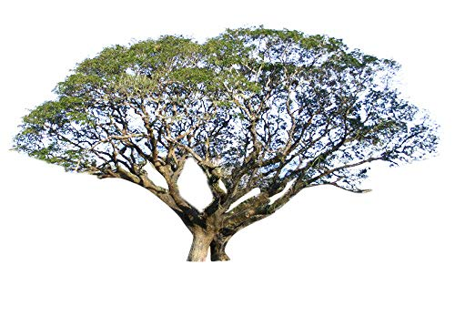 Regenbaum (Samanea saman) 10 Samen -Tolle Wuchsform-