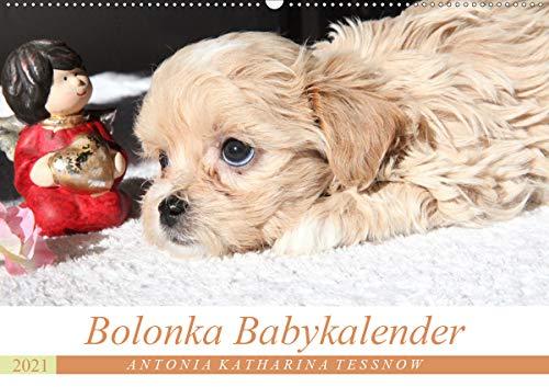 Bolonka Babykalender 2021 (Wandkalender 2021 DIN A2 quer)