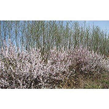 Potseed Keimfutter: 50 Nanking Kirsche Samen, Prunus Tomentosa