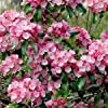 Semi Mountain Laurel Bush (Kalmia latifolia) 100 + Semi #1