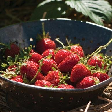 Elan Strawberry Seeds (Fragaria x ananassa) 5+ Rare Seeds + FREE Bonus 6 Variety Seed Pack - a $29.95 Value! Packed in FROZEN SEED CAPSULES for Growing Seeds Now or Saving Seeds For Years