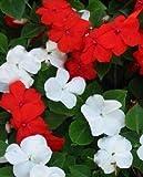 Graines de fleurs - 50 graines de Impatiens Graines Impatiens rouge et blanc semences non Ogm Heirloom annuel Fleur