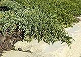 Blauer Kriechwacholder Juniperus squamata 'Blue Carpet' im Topf gewachsen ca. 20-30cm