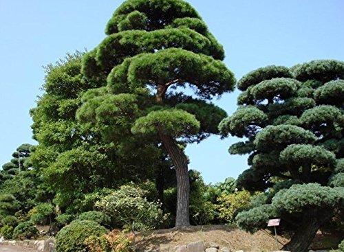 50 pcs / lot JARDIN Bonsaï SEED pin blanc graines d'arbres Podo carpien, Evergreen arbustes en pot Terrain