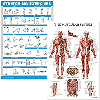 QuickFit Stretching Exercises and Muscular System Anatomy Poster Set - Laminated 2 Chart Set - Stretching Workout Routine & Anatomical Muscle Diagram  18  x 27