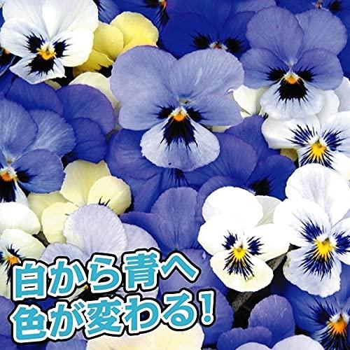 国華園 花苗 ビオラ オセロブルー 8株 /21年秋商品