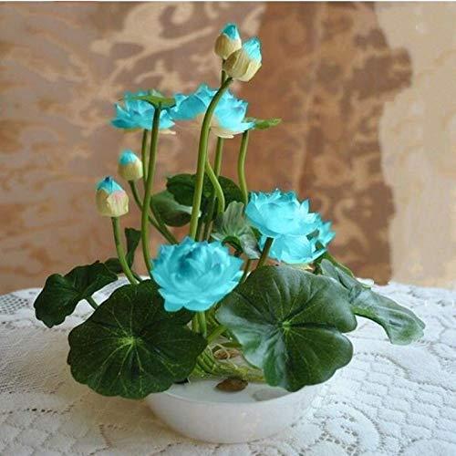 ScoutSeed Schüssel Lotus Seeds Blumensamen Seerosensamen Lotus Wasserpflanzen Bowl Lotus